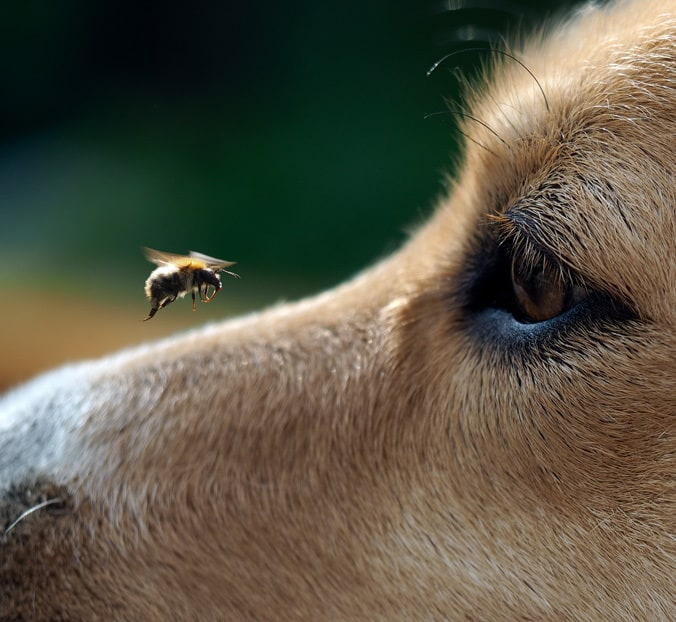 Protecting Your Pet From Bees