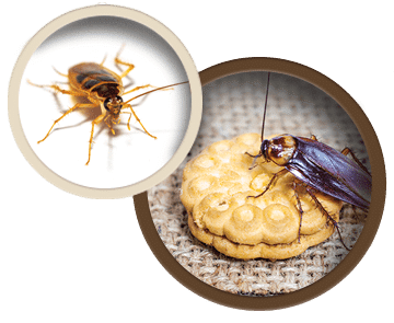roach on cookie image