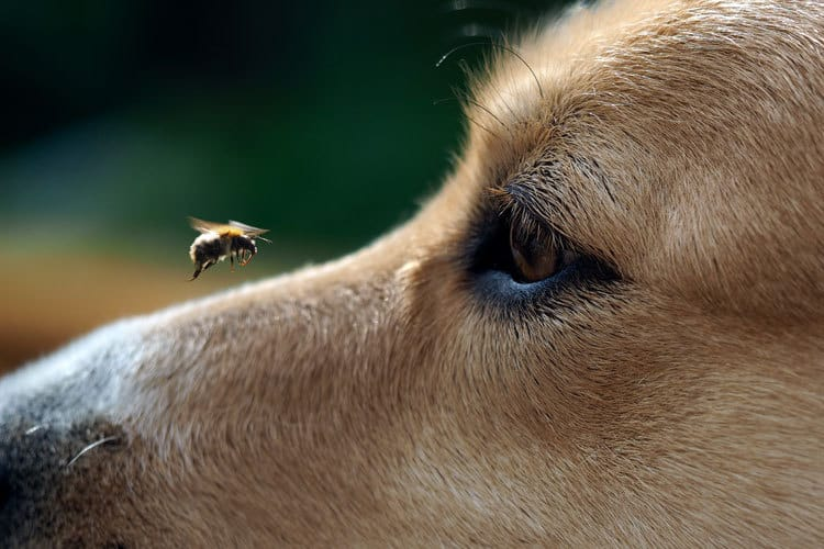 bee annoying dog image