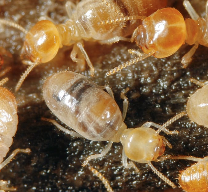 Termite Damage Risk is High in Tucson