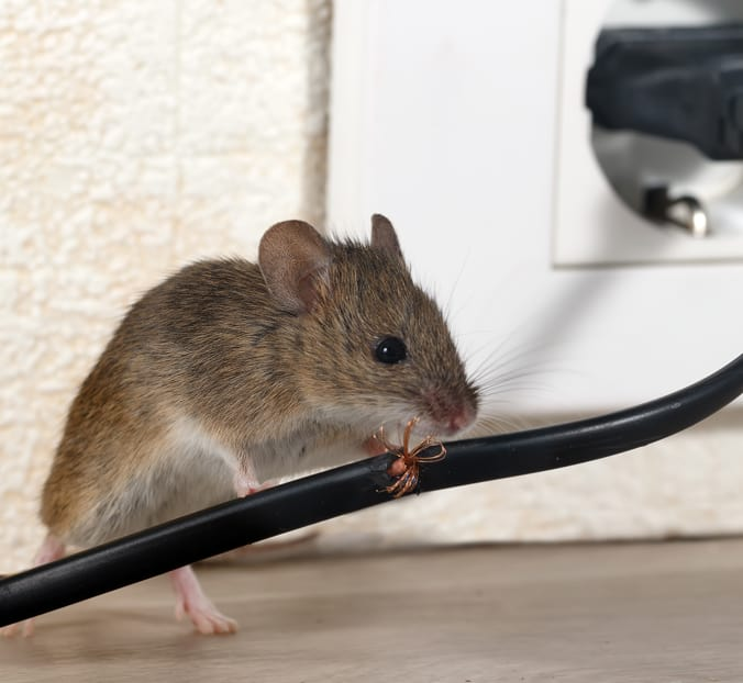 roof rat eating wiring image